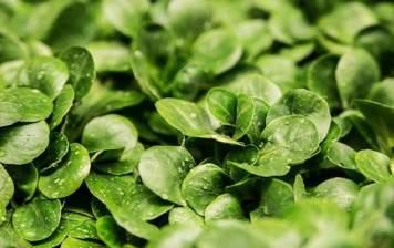 organic lamb's lettuce
