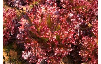 Organic red batavia lettuce